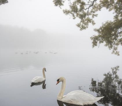 Swans at Pearl Lake photo