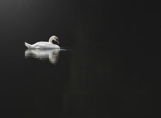 Swan resting on the lake at Pearl Lake, Herefordshire