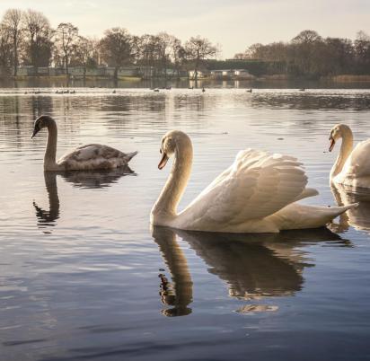 swans in autumn light photo